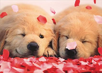 Amazon Com 2 Puppies With Rose Petals Golden Labrador Retriever