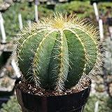 Notocactus magnificus or Parodia magnifica Cactus Succulent Plant