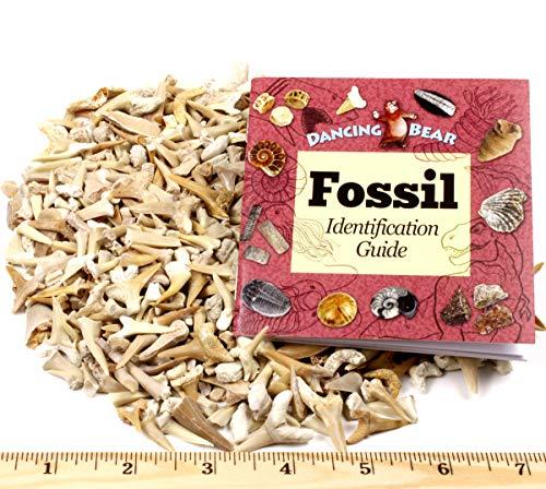 fossilized shark teeth - 4