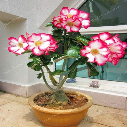 Seed - NOT Plant - Best Quality - Bonsai - Desert Rose Bonsai Potted Flowers Bonsai Adenium Obesum Indoor Bonsai Plant Mini Potted Tree for Home Garden Plant 1 Pcs - by SeedWorld - 1 PCs