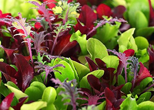 This is a Mix!!! 2000+ ORGANICALLY Grown Microgreens Mix 40 Varieties Superfood Seeds Heirloom Non-GMO Delicious and Healthy, Easy to Grow! from USA (Seed Is What A)