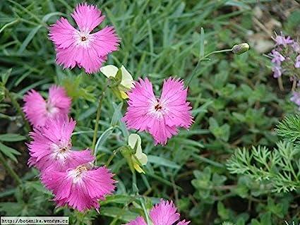 Amazon 50 Seeds Dianthus Cheddar Pink Flower Seeds Dianthus