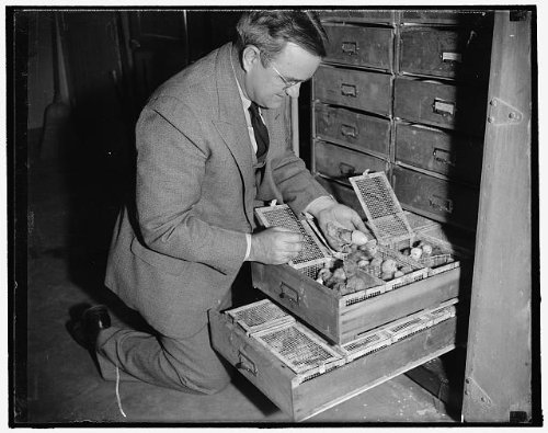 HistoricalFindings Photo: Dr Charles W Knox,Poultry Geneticist,inspects Hatched Chicks,Beltsville,MD,1939