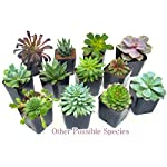 Succulent Plants (5 Pack), Fully Rooted in Planter Pots with Soil - Real Live Potted Succulents / Unique Indoor Cactus Decor by Plants for Pets 24 HAND SELECTED: Every pack of succulents we send is hand-picked. You will receive a unique collection of species that are FULLY ROOTED IN 2 INCH POTS, which will be similar to the product photos (see photo 2 for scale). Note that we rotate our nursery stock often, so the exact species we send changes every week. THE EASIEST HOUSE PLANTS: More appealing than artificial plastic or fake faux plants, and care is a cinch. If you think you can't keep houseplants alive, you're wrong; our succulents don't require fertilizer and can be planted in a decorative pot of your choice within seconds. DIY HOME DECOR: The possibilities are only limited by your imagination; display them in a plant holder, a wall mount, a geometric glass vase, or even in a live wreath. Because of their amazingly low care requirements, they can even make the perfect desk centerpiece for your office.
