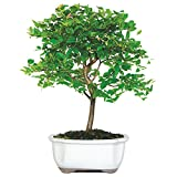 Brussel's Jaboticaba Bonsai - Small - (Indoor)