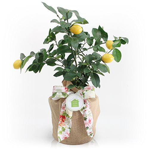 Housewarming Meyer Lemon Gift Tree by The Magnolia Company - Get Fruit 1st Year, Dwarf Fruit Tree with Juicy Sweet Lemons, NO Ship to TX, LA, AZ and CA by The Magnolia Company (Image #1)