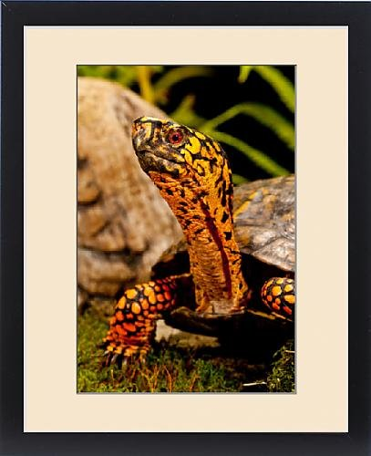 Framed Print of Eastern Box Turtle, Terrapene carolina, Native to Eastern Coastal US