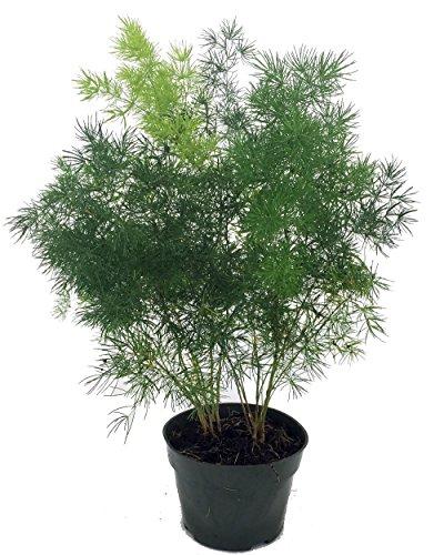 Chinese Ming Fern - Asparagus macowanii - 4