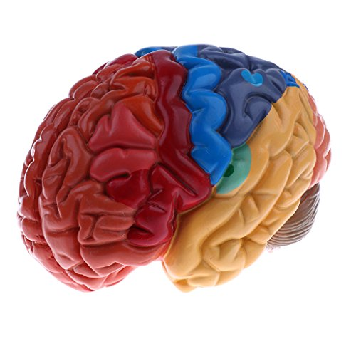 Baoblaze Lifesize 1:1 Colored Removable 2 Parts Human Brain