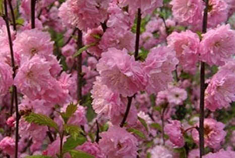 Amazon 5 Shrubs Double Pink Flowering Almond 1 Foot Tall