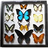 REAL 12 MIX BEAUTIFUL BUTTERFLY IN FRAME DISPLAY INSECT TAXIDERMY by Thai