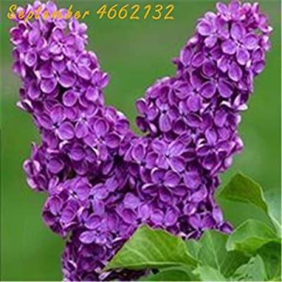 100 Pcs Bonsai Lilac Bonsai Japanese Lilac (Extremely Fragrant) Clove Flower Bonsai Lilac Trees Outdoor Plant The Lilacs Bonsai: Garden & Outdoor