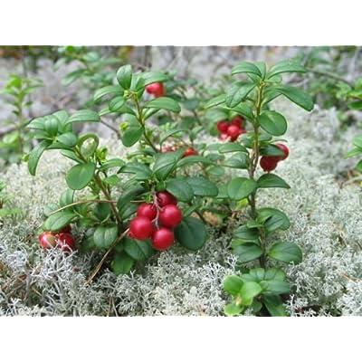 100 Seeds - Lingonberry Seeds- (Vaccinium Vitis-idaea) Evergreen shrub, bears edible fruit : Garden & Outdoor