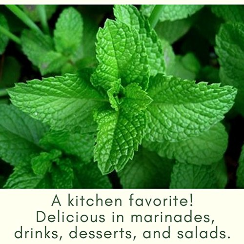 Clovers Garden Peppermint Mint Herb Plants- Non GMO- Two (2) Live Plants - Not Seeds -Each 4''-7'' tall- in 3.5 Inch Pots by Clovers Garden (Image #3)