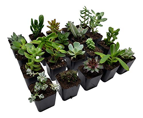 Succulent Plants [20 Pack Succulents] - Rooted 2 Inch Succulents in Planter Pots with Soil, Unique Live Indoor Plants for Decoration, Easy Care Plant Decor by Succulent Depot by Succulent Depot (Image #3)