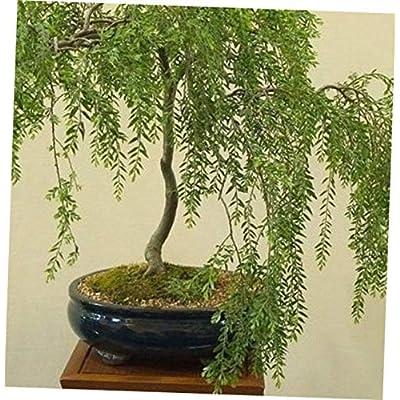 GHY 1 Bare Root Bonsai Australian Willow Tree - RK2312: Garden & Outdoor