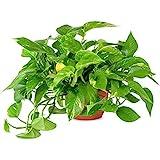 "AMERICAN PLANT EXCHANGE Golden Pothos Easy Care Live Plant, 6"" Pot, Top Indoor Air Purifier"