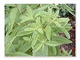 "Lemon Verbena Live Plants USDA Certified Organic 2 ½ "" Pots"