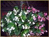 Begonia Flowers,(100 Seeds Wax Begonia-,Pellet Seeds) Mix Rose Pink,White,Red ,