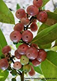 15 Seeds: glycosmis pentaphylla (ginberry, orangeberry) Fresh Seeds harvested When You Buy