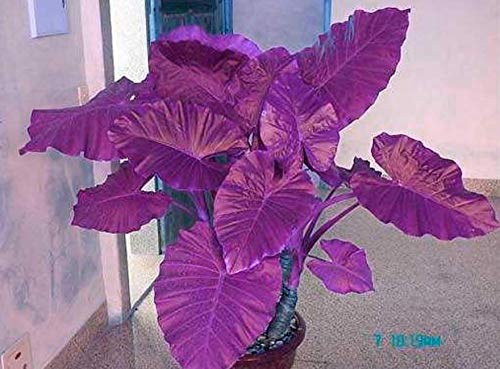 colocasia Plant Jacks Giant Elephant Ear Seeds 50 Seed Purple New