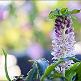 Purple Pineapple Lily Tugela Ruby, 3 Large Eucomis Bulbs - Gorgeous Tropical Blooms!