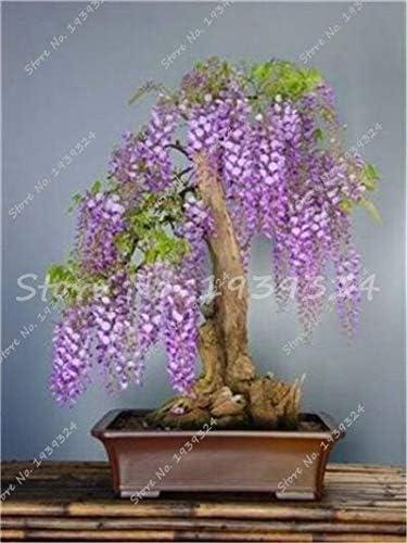 8:20個希少な藤の盆栽の木の種、鉢植えの花の種、Diyホーム&アンプの屋内多年生観賞用植物。庭園