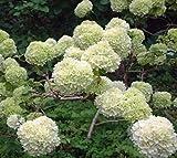Chinese Snowball bush ( viburnum macrocephalum ) - Live Plant - Trade Gallon Pot