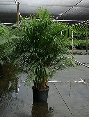 Fifteen 1-3 Ft Tall Live Areca Palm Trees - 2 Gal Pot