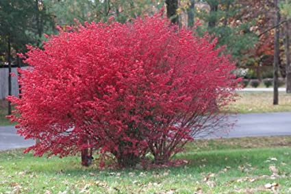 Amazon Com 50 Burning Bush Kochia Scoparia Shrub Seeds By