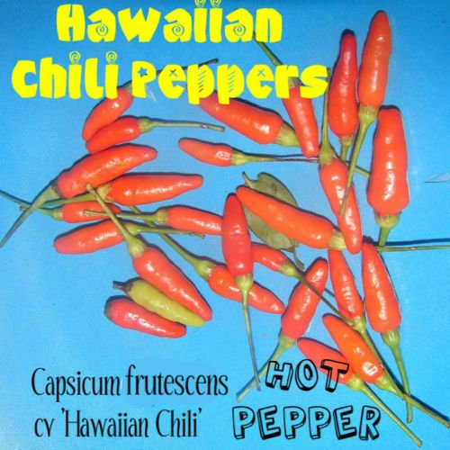HOT HAWAIIAN CHILI PEPPER~ Capsicum frutescens cv Hawaiian Chili 60 Seeds