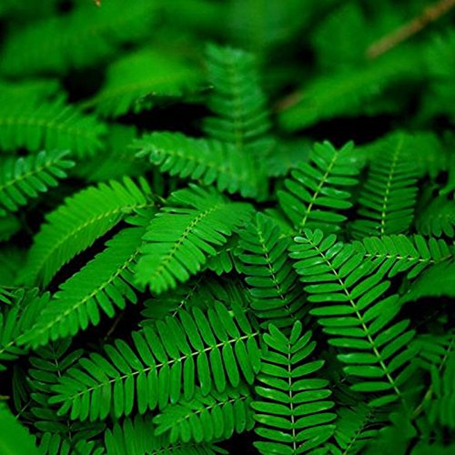BigFamily Sensitive Plant Seeds Mimosa Pudica Moving Plant Shy Plant Shameful Plant Touch-me-not Plant Seeds ()
