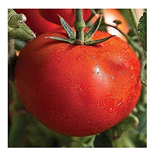 Early Tomato - David's Garden Seeds Tomato Slicing Early Girl SL5329 (Red) 25 Non-GMO, Hybrid Seeds