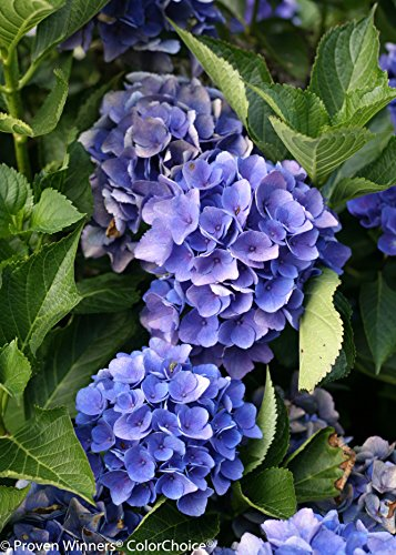 1 Gal. Cityline Venice Bigleaf Hydrangea (Macrophylla) Live Shrub, Pink, Blue and Green Flowers by Proven Winners (Image #5)