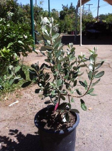 Fruit Bearing Natemetz Pineapple Guava Bush Form Shipped in Soil, Five Gallon Container