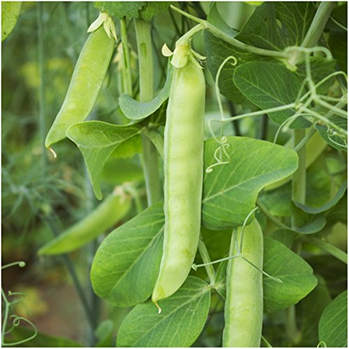 package-of-150-seeds-sugar-sprint-pea-pisum-sativum-non-gmo-seeds-by-seed-needs-usa
