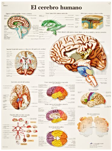 3b-scientific-vr3615l-glossy-uv-resistant-laminated-paper-sistema-el-cerebro-humano-anatomical-human