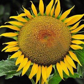 Green's Gardens Rare Heirloom 20 Skyscraper Sunflower Seeds Newly Harvested Flower Garden Enjoy the Beauty