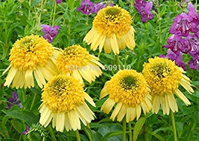 Heirloom Rare Echinacea 'Meteor Yellow' Flower Seeds, 100 Seeds / Pack, New Coneflower 100% True Variety KK091