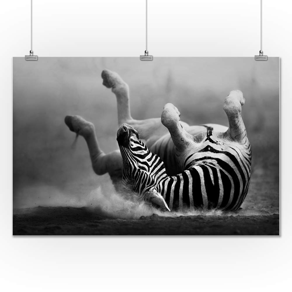 Amazon com zebra rolling in the dust black and white photography a 90880 24x36 fine art giclee gallery print home wall decor artwork poster posters