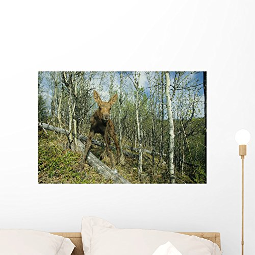 Newborn Calf Moose Stands Wall Mural by Wallmonkeys Peel and Stick Graphic (24 in W x 16 in H) WM61870
