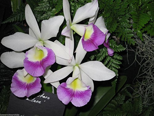 2) plants- Blc. Hawaiian Stars 'Pink Lace' Cluster Bloomer! Easy to grow- Blooms twice a year- Orchid Plant