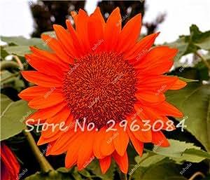 50 Semillas de girasol orgánico piezas Helianthus annuus Semillas de semillas de girasol Flor ornamental de flores para jardín fácil de cultivar 2