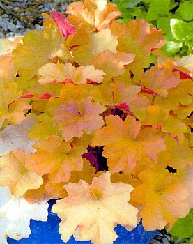Caramel Coral Bells - Heuchera - One Quart Pot (Carmel Stem)