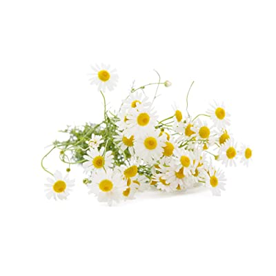500+ ORGANIC German Chamomile Seeds Flower Herb Heirloom NON-GMO Fragrant : Garden & Outdoor