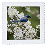 3dRose Danita Delimont - Songbirds - Western Scrub Jay in a Mexican Plum tree, Hill Country, Texas - 18x18 inch quilt square (qs_279583_7)