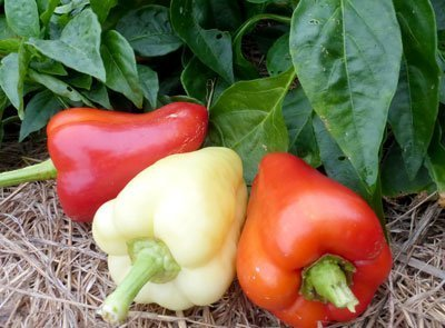 David's Garden Seeds Pepper Bell Early Hungarian Sweet D578 (Red, White) 50 Organic Seeds
