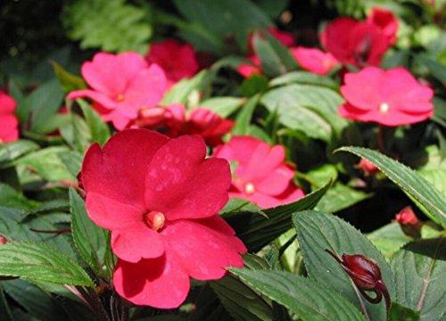 (Impatiens *Ambizu*) 50 Pcs / Bag, Impatiens Seeds, DIY Potted Plants, Indoor / Outdoor Pot Seed