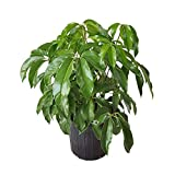PlantVine Schefflera actinophylla 'Amate', Umbrella Tree - Large - 8-10 Inch Pot (3 Gallon), Live Indoor Plant