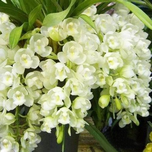 Orchid Rooting Freesia Orchid 120PCS White Color Home Garden Plants Potted Flowers Orchid Cymbidium Orchid Cicada Cymbidium When Flowering -